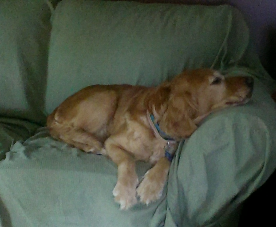 napping golden