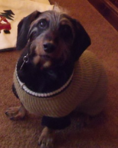 dachshund in sweater