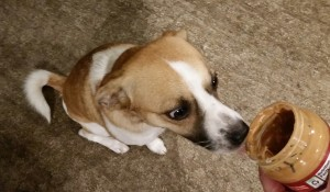 dog eating peanut butter