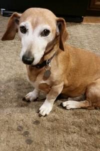 standard dachshund