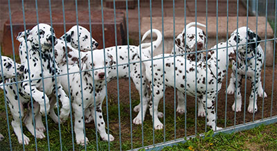 Dalmatians in puppy mill