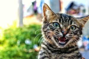 hissing tabby cat
