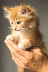 orange kitten in hand