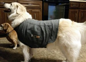How NOT to wear a thundershirt. Notice it hanging off the dog!