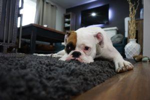 white boxer seizure
