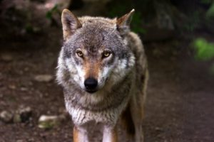 wolf behavior alpha dog