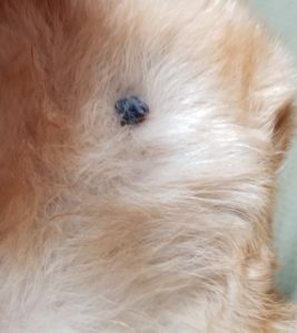 What Does A Dead Tick On A Dog Look Like