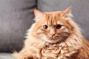 cat lysine